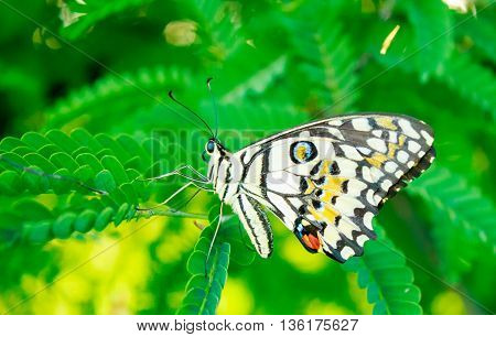 A butterfly on tamarind leaves in north thailand