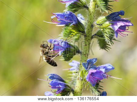 close photo of a bee feeding on the blooms of blueweed