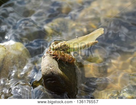 close photo of a dragonfly sitting on the stone in the water