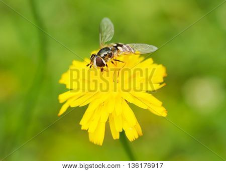 close photo of a hoverfly feeding on the purple bloom of a flower