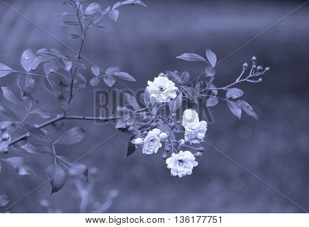 twig of rose bush with blooms in blue tones