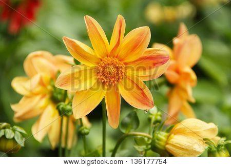 close photo of some orange blooms of Chrysanthemum