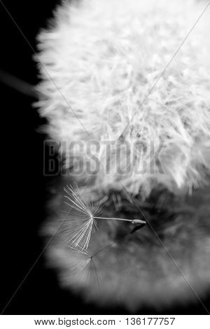 dandelion seeds lie in acrylic on a black background
