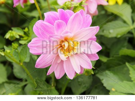 close photo of beautiful pink bloom of Chrysanthemum
