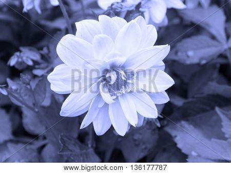 close photo beautiful bloom of Chrysanthemum in blue tones