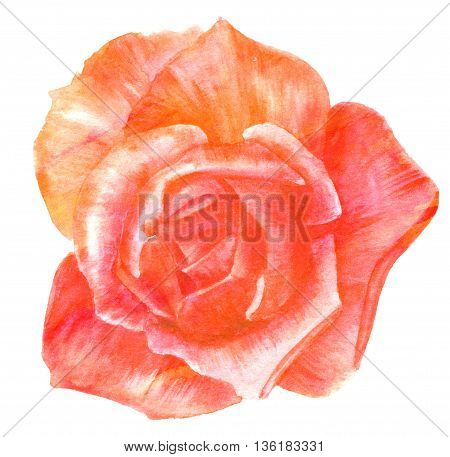 A watercolor drawing of a rose hand painted on white background and toned