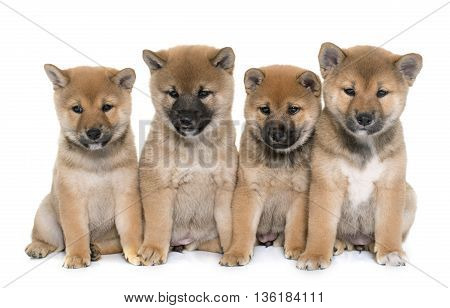 puppies shiba inu in front of white background