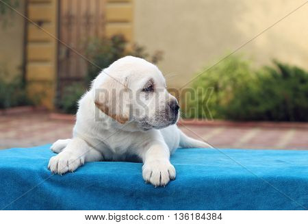 Little Labrador Puppy Laying On A Blue Background
