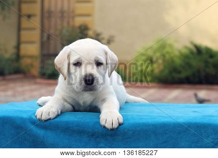 A Little Labrador Puppy Laying On A Blue Background
