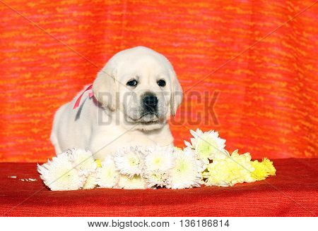 The Little Labrador Puppy On A Red Background With Flowers