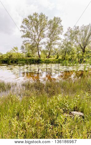 Reeds And Water Lilies In The River