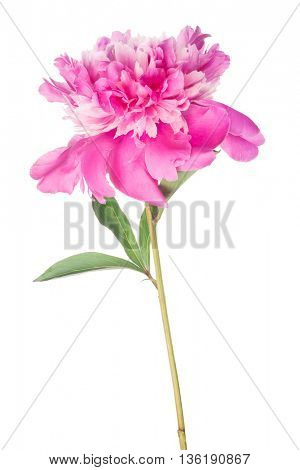 pink peony flower with green leaves isolated on white background