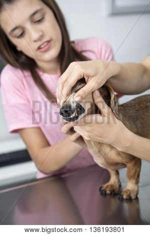 Cropped Image Of Doctor Examining Dachshund's Teeth By Girl
