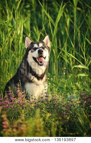Dog breed Alaskan Malamute sitting in the grass at dawn.