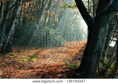 Peaceful rays of light moving between trees with fallen orange and red leaves on forest floor with copy space