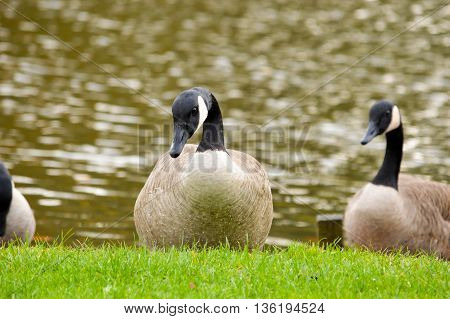 Three Canada geese standing on fresh green grass on the bank of a lake facing towards the camera