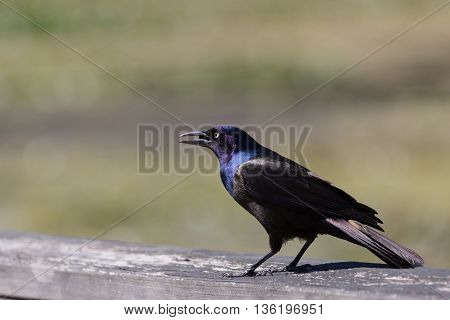 Common grackle (Quiscalus quiscula) bird sitting on wooden railing
