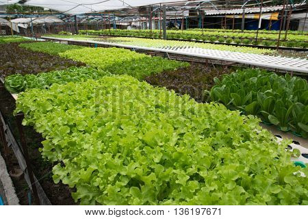 Hydroponic vegetables growing in greenhouse. hydroponic, farm