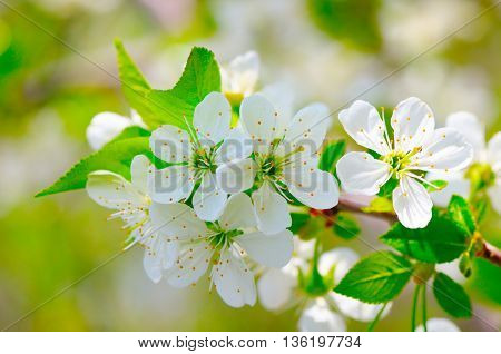sprig of flowering cherry blossoms in spring garden