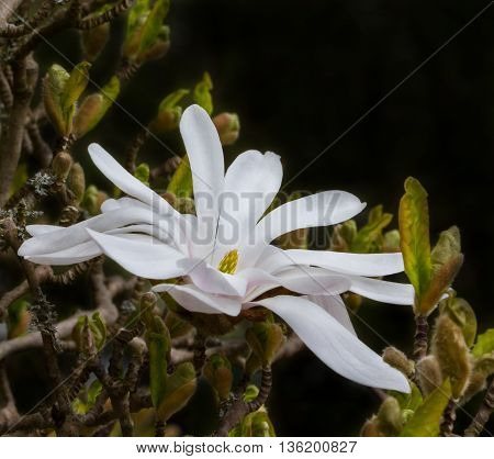 The beautiful flower of star magnolia delighted us in the spring.