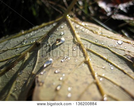 Fallen shiny leaf with drops of water