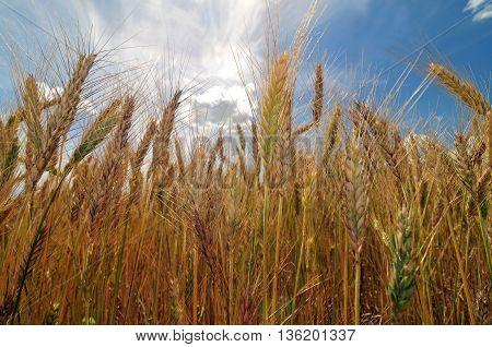 Barley field on a bright sunny day