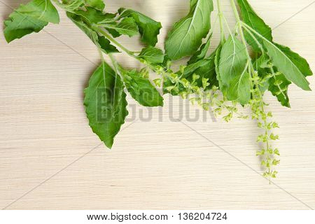 Basil leaf herb (Other names are Ocimum basilicum great basil Saint-Joseph's-wort Basil Lamiaceae thyrsiflora lemon basil citriodorum holy basil Ocimum tenuiflorum) isolated