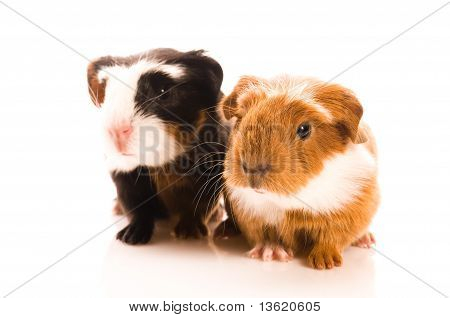 Baby Guinea Pig isolated on the white background
