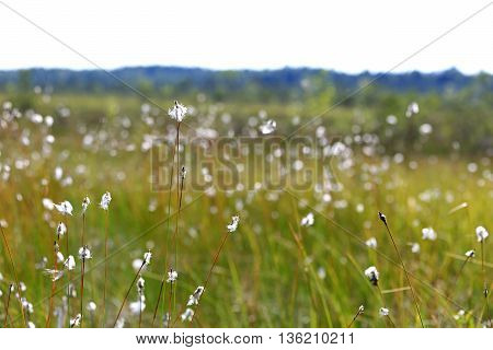 Landscape with Cottongrass (Eriophorum) by the edge of a large bog in Finland at summer. Shallow dof, bokeh effect.