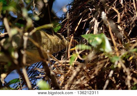 Common chiffchaff bird feeding its chicks in the nest