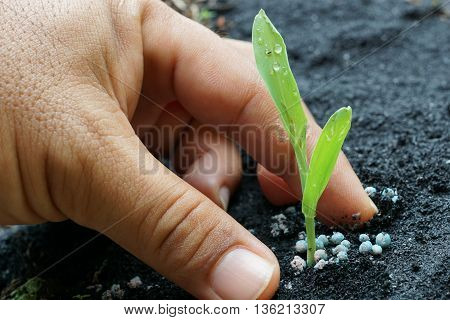 corn seedling with hand apply granular fertilizer