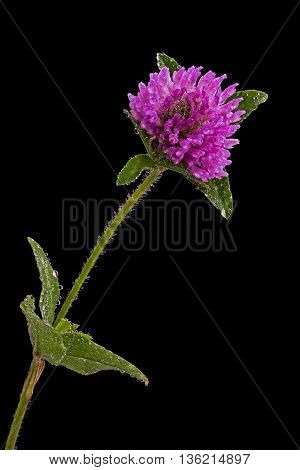 Detailed view of the clover flower on a black background
