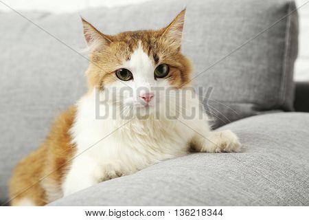 Beautiful Cat On A Grey Sofa, Close Up