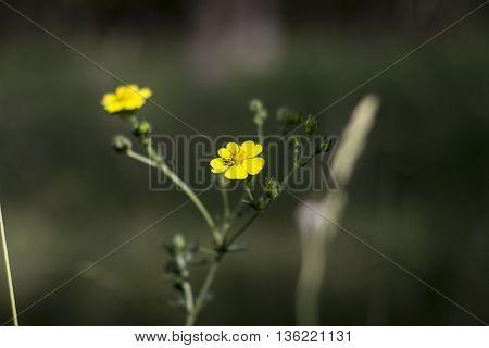 yellow meadow flower on a summer green field