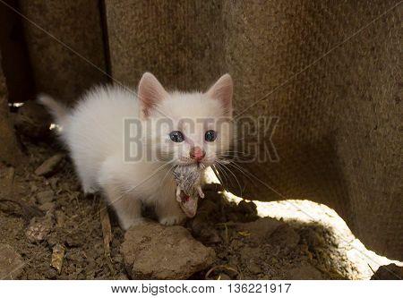 Small white kitten eating little bloody mouse