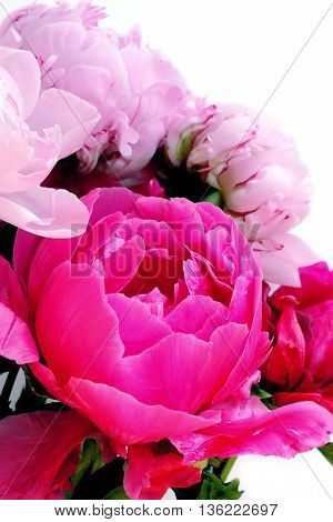 Three pink peonies isolated on white. flower