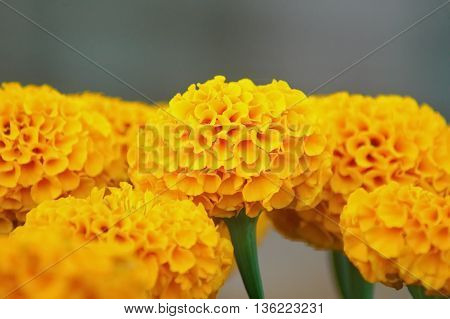 Yellow Marigold flower on blur background, group of blooming Marigold flower.