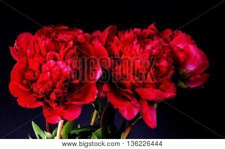 Rare type peony on black background. flower