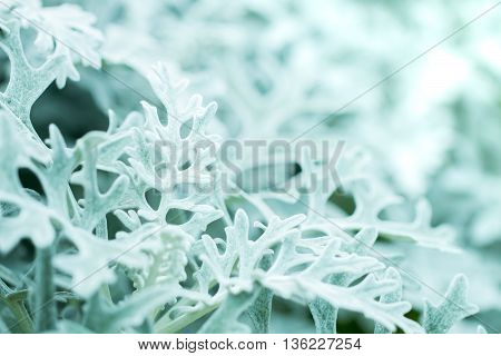 Macro soft focus shot of dusty miller Silver dust centaurea cineraria dust ragwort foliage plants on blur background with copy space.