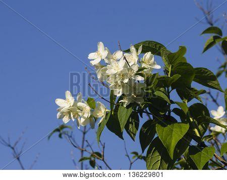 White flowers on mock-orange shrub with bokeh background macro selective focus shallow DOF