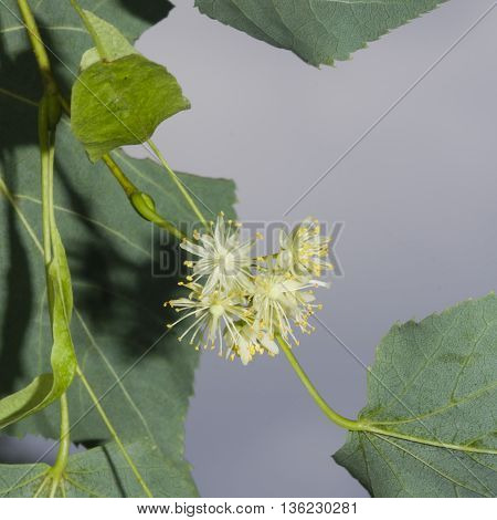 Small-leaved lime or littleleaf linden Tilia cordata flowers macro selective focus shallow DOF