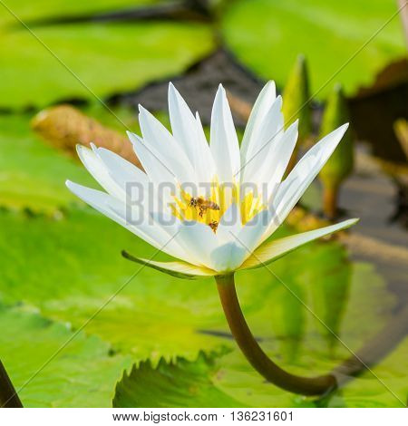 Florida waterlily with bee searching for pollen