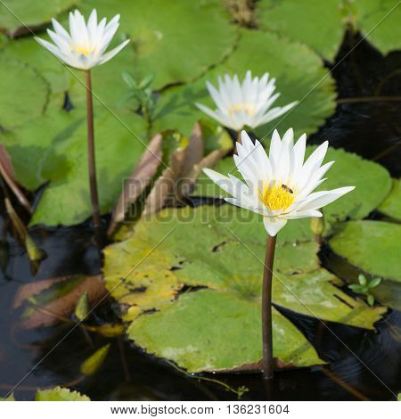 Florida waterlily's in the summer - spring season