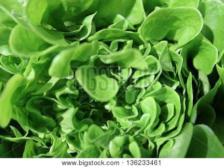 Lettuce (Lactuca sativa) - herbaceous plants Asteraceae food culture