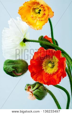 poppies Isolated on white background.. flower .