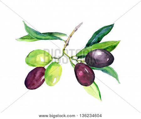 Olive branch - green and black olives vegetables and leaves. Watercolor