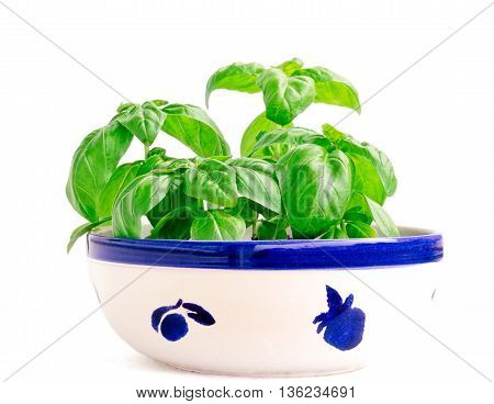 Young basil planted in a ceramic painted bowl