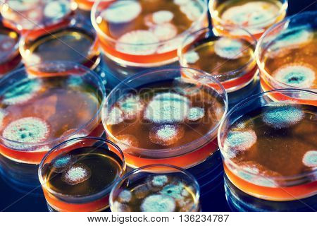 Penicillin fungi in petri dishes. Toned photo
