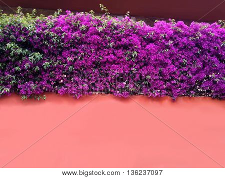 Beautiful bougainvillea flowers wrapped around the wall painted in a sweet apricot colour
