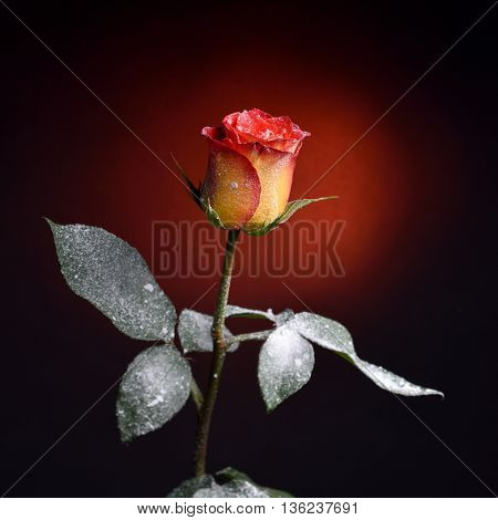 Red rose and snow as background